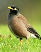 IndianMyna