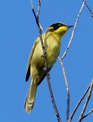 YellowTuftedHoneyeat