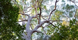 Hornsby Council Proposal to Water Down New Tree Protections