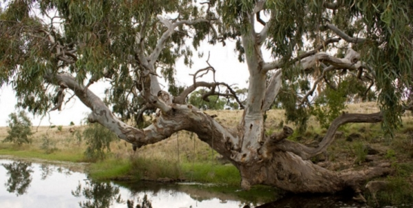 The River Red Gum is an Icon of the Driest Continent