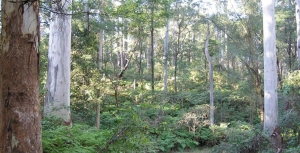 Preservation of Blue Gum High Forest in St Ives