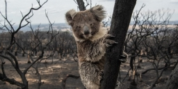 Clearing of Koala Habitat: Another NSW Government Decision Required