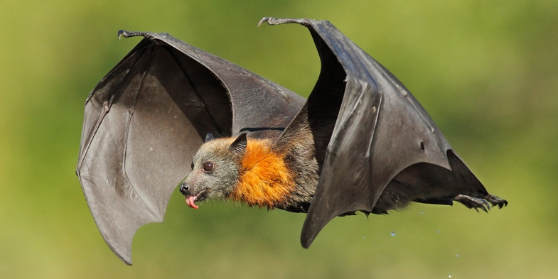 Hard Times for Flying-foxes in Sydney