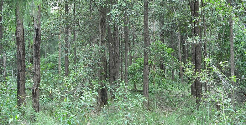 Sydney Turpentine-Ironbark Forest Declared Critically Endangered