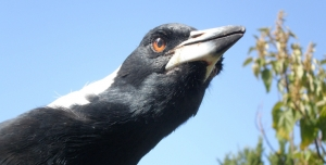 Magpies can Form Friendships with People – Here's How